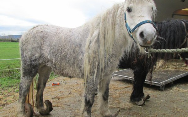 RT @ISPCA1: #Ponies left to suffer with severely o…